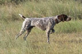 german_shorthaired_pointer